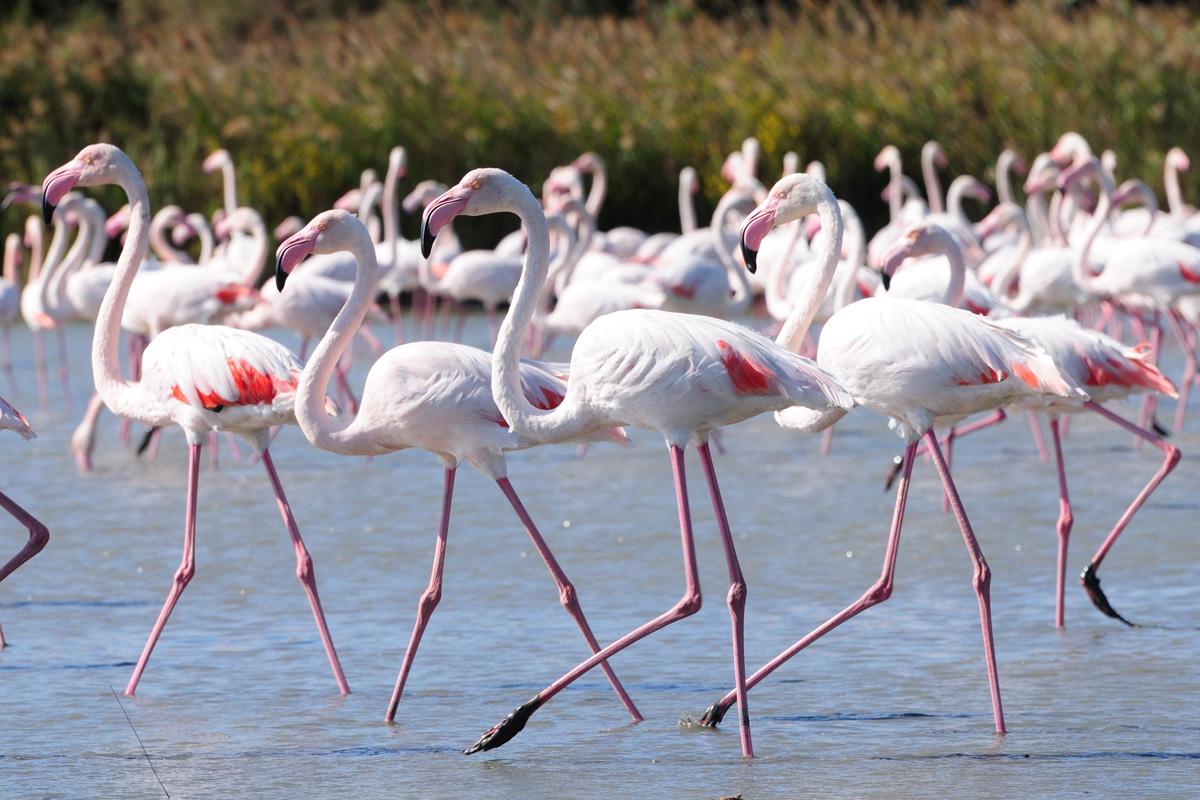 flamingos sardinia island