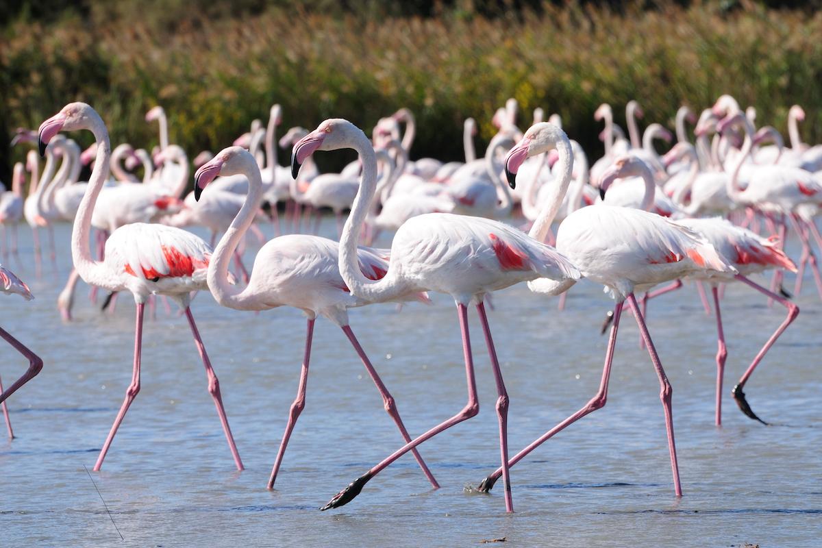 fenicotteri flamingos sardinia